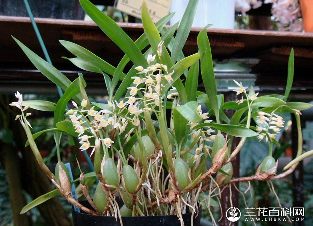 细叶石仙桃Pholidota cantonensis