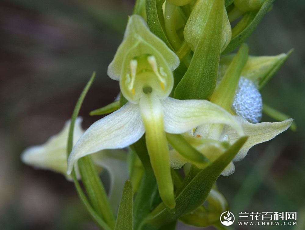 二叶舌唇兰Platanthera chlorantha