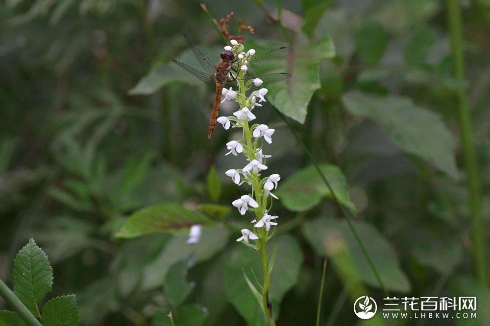 密花舌唇兰Platanthera hologlottis