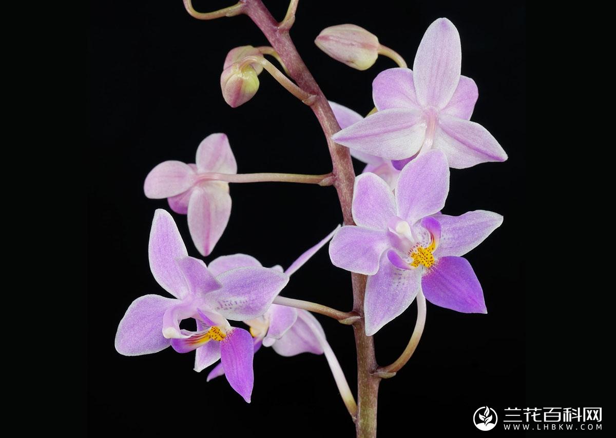 小兰屿蝴蝶兰Phalaenopsis equestris