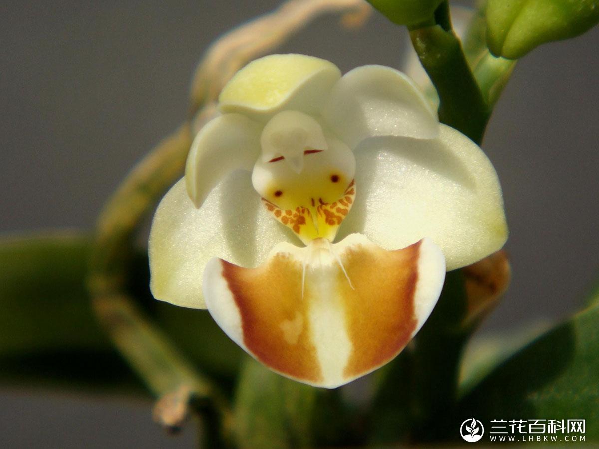 罗氏蝴蝶兰Phalaenopsis lobbii