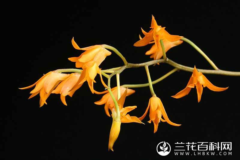 窄距兰属Stenocoryne
