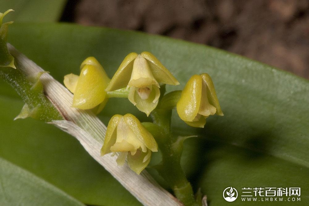 多穗兰属Polystachya