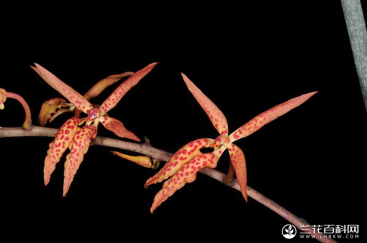 火焰兰属Renanthera