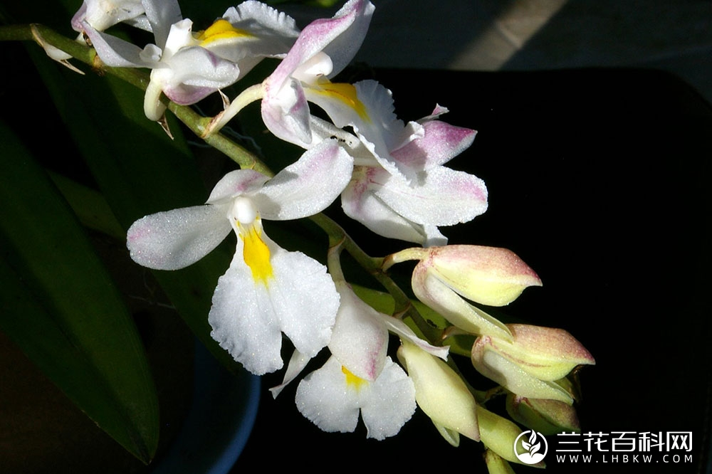 凹萼兰属Rodriguezia