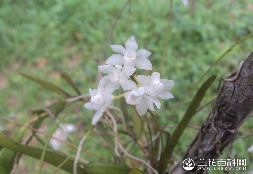 白点兰属Thrixspermum