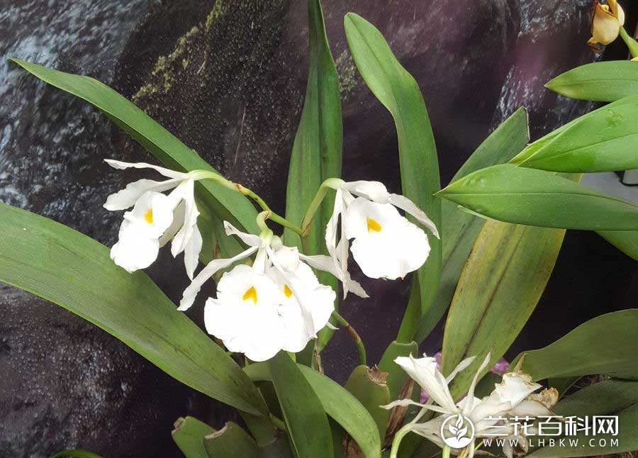 毛床兰属Trichopilia